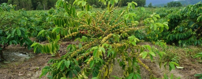 Coffee farmers in Viet Nam switch to intercropping